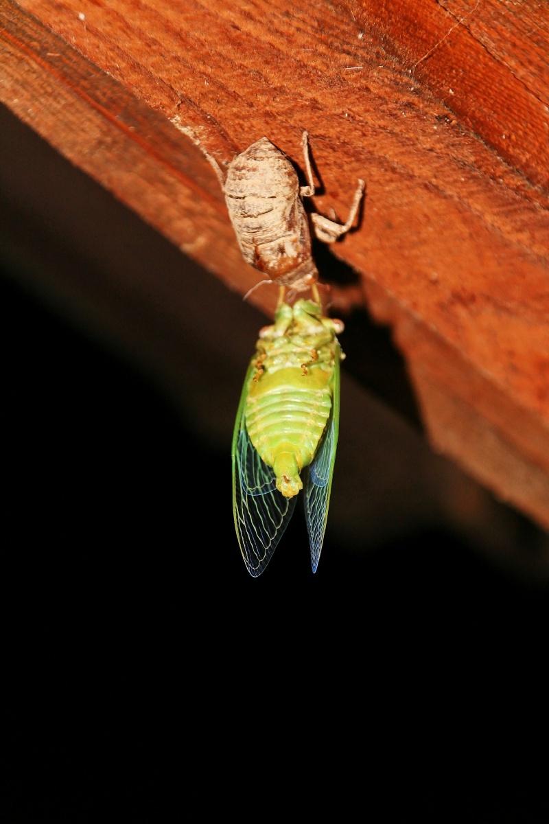 cicada mutation
