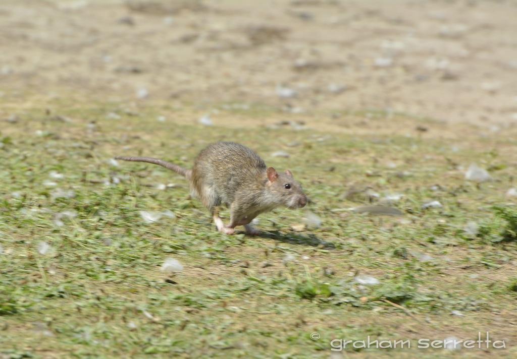 Nikon D7100 and the Rat.