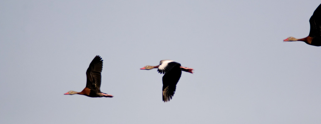 Black Bellied Whistling Ducks - Editing Recommendations