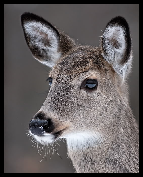 Portrait of a Whitetail
