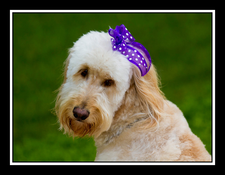 Holly, my goldendoodle